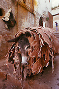 MOROCCO, FEZ Medina; crafts donkey carrying hides to the tannery