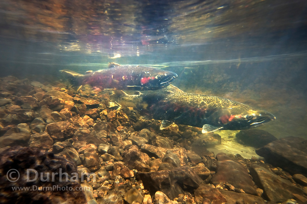 A female coho salmon (Oncorhynchus kisutch) (right) gaurds her redd in Thompson Creek, while a male hovers nearby to keep other competing males from fertilizing the eggs.  Oregon Coast. These fish will die about two weeks after spawning.