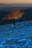 Single Common beech (Fagus sylvatica) tree growing on rocky limestone slope in last evening light. Mehedinti Plateau Geopark, Geoparcul Platoul Mehedinți, Romania.