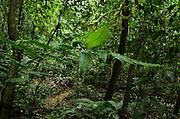 Leaf Katydid (Cycloptera speculata)<br /> Yasuni National Park, Amazon Rainforest<br /> ECUADOR. South America<br /> HABITAT & RANGE:Leaf Katydid (Cycloptera arcuata)<br /> Yasuni National Park, Amazon Rainforest<br /> ECUADOR. South America