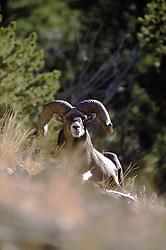 Trophy Bighorn Sheep Ram, Gardiner Montana, Absaroka Mountains,