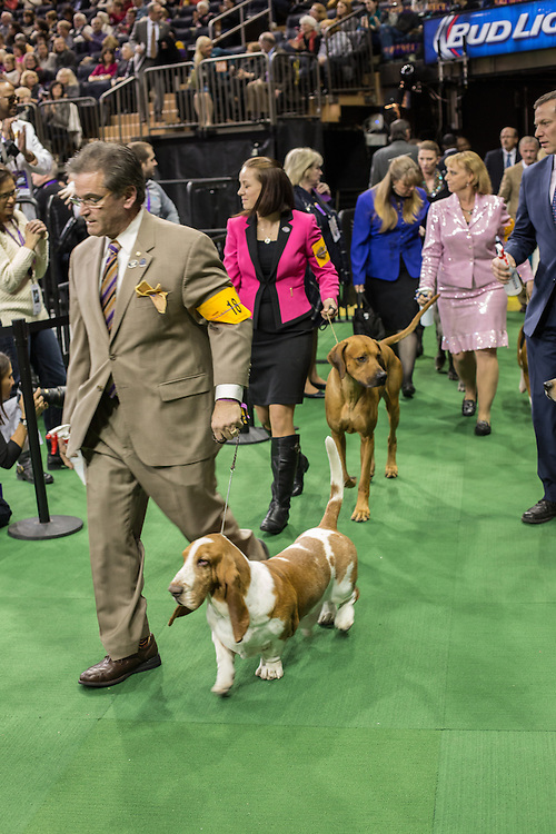 New York, NY - 16 February 2015. Bassett hound Topsfield-Sanchu Eenie Meenie Miney Moe leads the pack into the ring for the hound group judging of the 139th Westminster Kennel Club Dog Show.