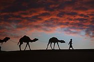 Silhouette of a man with camels (dromedary) in the desert against dark, red, cloudy sky.
