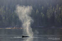 Humpback whale, Gwaii Haanas National Park Reserve, Queen Charlotte Islands, BC, Canada