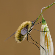 Bee Fly on flower bud against light brown background