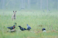Wolf, Canis lupus, and Raven, Corvus corax, Kuhmo Finland