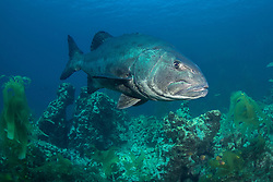 Giant Sea Bass, Stereolepis gigas, Santa Barbara Island, Channel Islands, California, USA