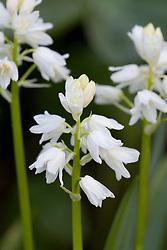 White bluebell. Hyacinthoides non-scripta 'Alba'