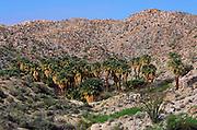California Fan Palms at Mountain Palm Springs, Anza-Borrego Desert State Park, California