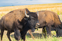 These bison are a part of a free-ranging, currently publicly-owned herd of wild bison (commonly and incorrectly called buffalo) on Antelope Island, Utah that number upwards of 700 or more individuals. The habitat is perfect, as there are no wolves, bears or other apex predators, and the only limit to population is the amount of land that can support them.