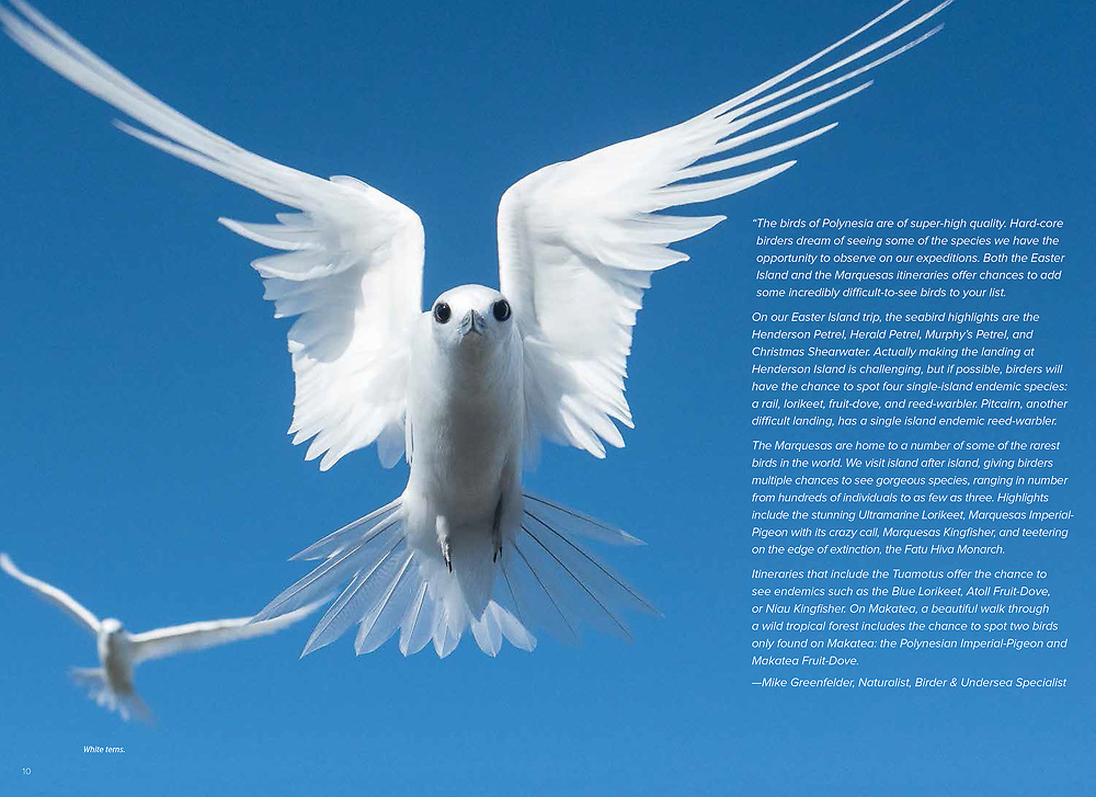White terns photographed in Pitcairn islands, published in Lindblad Expeditions magazine.