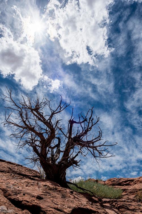 Juniper tree, Grand Staircase - Escalante National Monument, Utah.