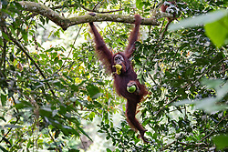 A female orangutan (orang-outan) eats jackfruit, on August 5, 2019 near Sandakan city, State of Sabah, North of Borneo Island, Malaysia. Palm oil plantations are cutting down primary and secondary forests vital as habitat for wildlife including the critically endangered Bornean and Sumatran orangutans. Photo by Emy/ABACAPRESS.COM