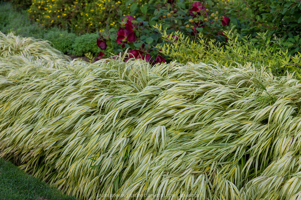 Gold-Striped Hakone Grass