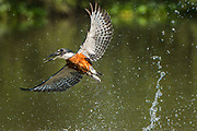 Ringed kingfisher (Megaceryle torquata)<br /> Pantanal, BRAZIL, South America