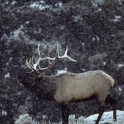 Elk, (Cervus elaphus) bull in rut, bugling. Fall.
