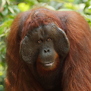 A large male Orangutan (Pongo pygmaeus) in Tanjung Puting National Park. Central Kalimantan region., Borneo.