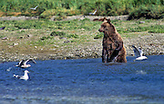 Grizzly bear fishes for salmon in Geographic Harbor, Katmai National Park and Preserve, Alaska