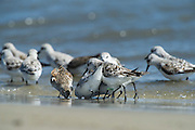 Sanderling (Calidris alba)<br /> Little St Simon's Island, Barrier Islands, Georgia<br /> USA<br /> HABITAT & RANGE: Circumpolar Arctic breeder and long-distance migrant