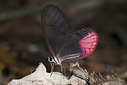Glass Wing Butterfly, Cithaerias aurorina, on rainforest floor, Manu, Peru, Amazon jungle, pink colours, eyespot, clear wing, delicate, fragile.