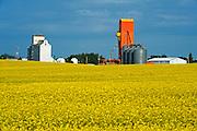 Canola and grain elevators<br /> Kyle<br /> Saskatchewan<br /> Canada