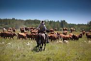 Photo Randy Vanderveen.Near Debolt, Alberta, July 22/08.A cowboy drives cattl through a pasture in the heat of the day beneath a blue Alberta sky.