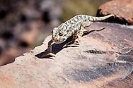 Lizard on stone wall in the Sahara desert of Morocco.