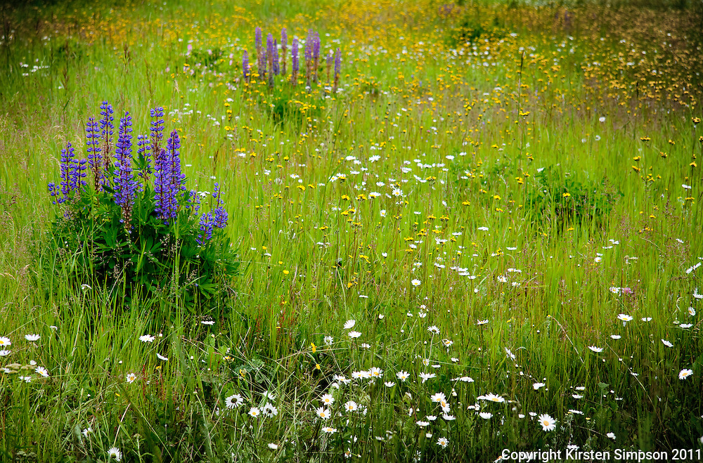 Fields of flowers at Mount Robson