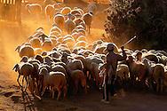 Vietnam Images-children-A little boy with his flock of sheep- Phan Rang hoàng thế nhiệm