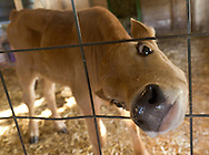 Mount Hope, New York - Farm animals at Pierson's Farm on Oct. 4. 2014.