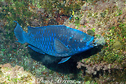 midnight parrotfish, Scarus coelestinus,<br /> scraping algae off coral rock<br /> Bahamas ( Atlantic Ocean )