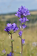 Clustered Bellflower - Campanula glomerata