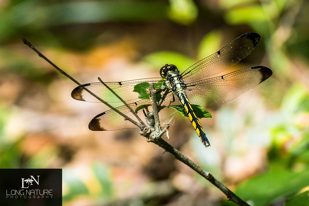 Great Blue Skimmer Dragonfly - Libellula vibrans, female in Charles H. Bronson State Forest, Florida USA