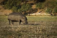 Grazing hippo in Chobe National Park, Botswana