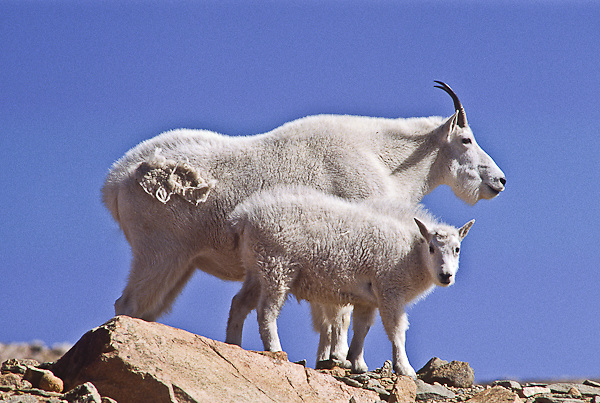 Mountain goats (Oreamnos americanus) A nanny and her kid on the alpine tundra.  Mount Evans, Colorado.