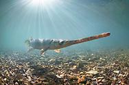 Longnose Gar<br /> <br /> Isaac Szabo/Engbretson Underwater Photography