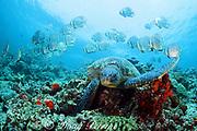 green sea turtle, Chelonia mydas, rests on coral outcrop as school of batfish, Platax sp., swims by, Sipadan Island, off Borneo, Sabah, Malaysia ( Celebes Sea / Western Pacific Ocean )