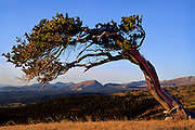 A bent Bristlecone pine tree leans as a result of trying to grow against the frequent high winds on Windy Ridge, near Alma, Colorado in the Pike National Forest. Bristlecone pines are among the oldest living things on Earth.