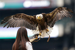Challenger the Eagle before the NFL NFC Championship game between The Minnesota Vikings and The Philadelphia Eagles at Lincoln Financial Field in Philadelphia on Sunday, January 21st 2018. (Brian Garfinkel/Philadelphia Eagles)