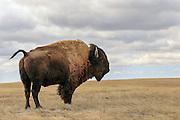 American Bison (Buffalo) in open western habitat