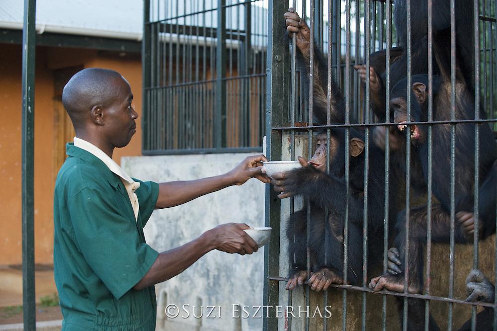 Chimpanzee<br /> Pan troglodytes<br /> Fred Nizeyimana (Veterinarian) feeding rescued chimpanzees<br /> Ngamba Island Chimpanzee Sanctuary<br /> *Model release available - release # MR_006