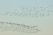 Lapwings (Vanellus vanellus) flocking over Poole Harbour at Arne. Dorset, UK.