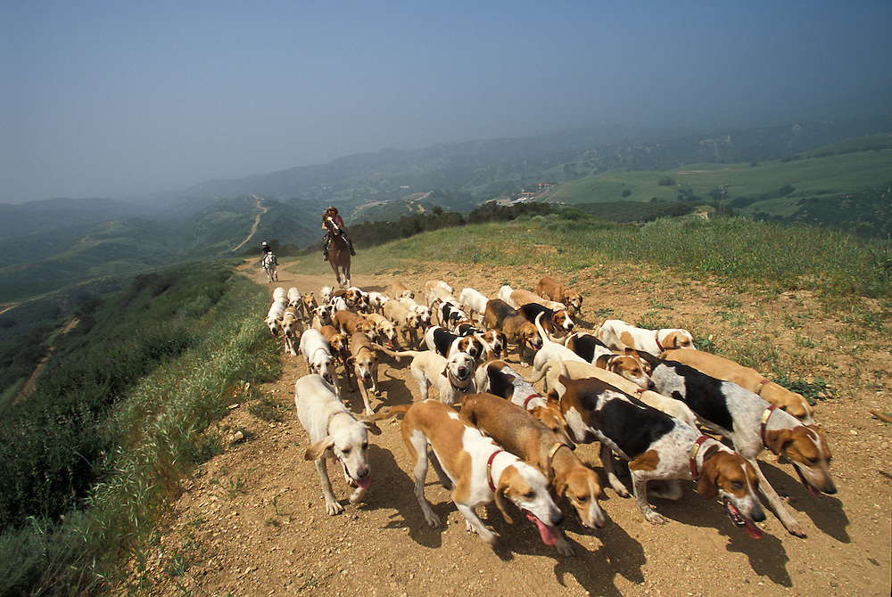 Members of a fox hunting club, West Hills Hunt, practice with their hounds in Los Angeles.