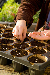 Autumn sowing of hardy annuals into individual coir pots - Lupinus 'Blue Spear'