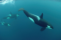 Killer whale (Orcinus orca), Kristiansund, Nordmøre, Norway.