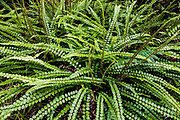 The button fern (Pellaea rotundifolia) is endemic to New Zealand. Milford Track in Fiordland National Park, Southland region, South Island of New Zealand. In 1990, UNESCO honored Te Wahipounamu - South West New Zealand as a World Heritage Area.