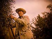 An elderly Italian man works on an olive farm in Tuscany, Italy