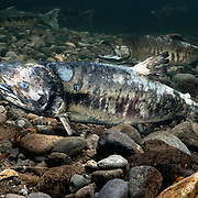 Pictured in the foreground is a male chum salmon (Oncorhynchus keta) on his last legs during the spawning run. His body has deteriorated considerably. His eye is opaque. Yet, he was still vying to spawn with females. A more intact male is visible in the background. Photographed in Hokkaido, Japan.