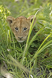 July 6, 2015 - African Lion, cub, Sabie Sand Game Reserve, South Africa  (Credit Image: © Tuns/DPA/ZUMA Wire)