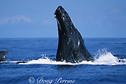 humpback whale, Megaptera novaeangliae, spyhopping, South Kohala, Hawaii Island; caption must include notice that photo was taken under NMFS research permit #587